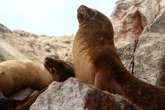 Pelz-Dichtung auf den Ballestas-Inseln, Peru Lizenzfreies Stockfoto