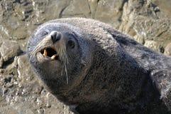 Pelz-Dichtung auf Felsen, Neuseeland Stockbild