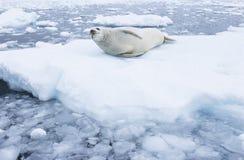 Pelz-Dichtung, die auf Eisfluß liegt Stockbilder