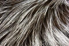 Pelz eines silbernen Fuchses Stockfoto