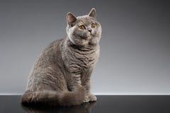 Pelz-Gray British Cat Sitting, neugierige Blicke auf dunklem Hintergrund lizenzfreie stockfotografie
