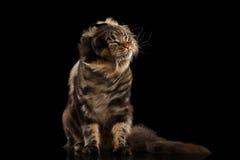 Pelz-Maine Coon Cat Shaked sein Kopf, lokalisierter schwarzer Hintergrund Lizenzfreie Stockfotografie