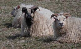 Pelz- und hornige Schafe ruhen sich auf Wiese aus stockfotos