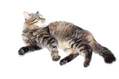 Pelzartige erwachsene Katze Lizenzfreies Stockbild