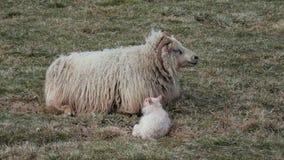 Pelzartige neugeborene Baby-Lämmer mit Mutter auf Wiese lizenzfreies stockfoto