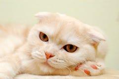 Pelzartige weiße Katze Stockfotografie