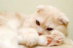 Pelzartige weiße Katze im Ruhezustand Stockbild