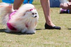 Pelzartiger frisierter Pudel geht in Hundekostüm-Wettbewerb Stockfotos
