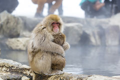 Pelzartiger wilder Schnee-Affe, der Baby zusammendrückt Lizenzfreies Stockbild