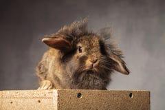 Pelzartiges braunes Löwekopfhäschen, das auf einem woodbox sitzt Lizenzfreie Stockbilder