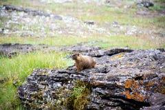 Pelzartiges kleines Murmeltier Stockfoto