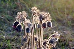 Pelzbusch von Blumen Pasque-Nahaufnahme mit Hintergrundbeleuchtung im wilden Lizenzfreie Stockfotos