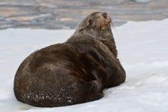 Pelzdichtung, die im Schnee auf dem Ufer von aocean liegt Lizenzfreies Stockfoto