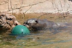 Pelzdichtung im Wasser mit dem grünen Ball Lizenzfreies Stockbild