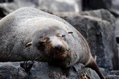 Pelzdichtung - Tasmanien lizenzfreie stockfotografie