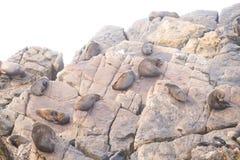 Pelzdichtungen, die auf Felsen liegen Stockbild