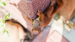 Pelzeichhörnchen klettert auf einen Stadtpark der Wand im Frühjahr lizenzfreie stockbilder