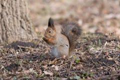 Pelzeichhörnchen steht auf Tatzen und isst eine Eichel stockbild