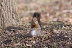 Pelzeichhörnchen steht auf Tatzen und isst eine Eichel lizenzfreies stockbild