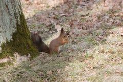 Pelzeichhörnchen zerfrisst und isst eine Eichel auf hinteren spaws lizenzfreies stockbild