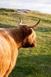 Pelzgalloway-Kuh mit Hupen Lizenzfreie Stockbilder