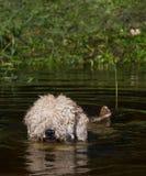 Pelzhundeschwimmen am Wasser mit Schilfen am suuny Sommertag Stockfoto
