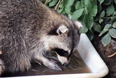 Pelzwaschbär, der sein Lebensmittel wäscht lizenzfreie stockbilder