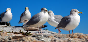 Pemaquid Point Seagulls. Seagulls at Pemaquid Point, Maine, USA Royalty Free Stock Photos