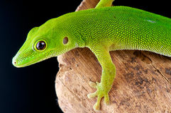 Pemba island day gecko. (Parker's Day Gecko) Phelsuma parkeri  is a diurnal species of geckos. It lives on Pemba Island, Tanzania and typically inhabits banana Royalty Free Stock Image