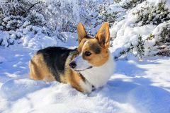 Pembroke ουαλλέζικο Corgi Τρι χρωματισμένο Corgi στο χιόνι Στοκ φωτογραφία με δικαίωμα ελεύθερης χρήσης