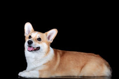 Pembroke corgi Royalty Free Stock Photos