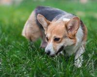 Pembroke Corgi Dog Portrait. Welsh Corgi Dog on Green Grass Field Stock Image