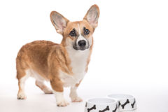 Pembroke corgi. Hungry dog waiting for eating food Stock Photos