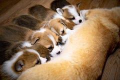 Pembroke Corgi Puppies eat stock photo