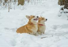 Pembroke de corgi de Gallois de chien images libres de droits