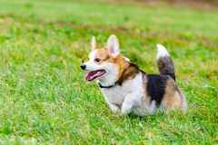 Pembroke de corgi Le jeune chien énergique marche dans le pré photo libre de droits
