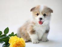Pembroke del corgi di lingua gallese del cucciolo su fondo bianco con la rosa di giallo Cane felice Immagine Stock