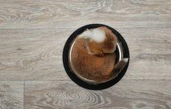 Pembroke för valpwelsh corgi sovande i en bunke Royaltyfri Fotografi