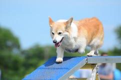 Pembroke Welch Corgi à un procès d'agilité de chien photographie stock libre de droits