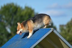 Pembroke Welch Corgi at a Dog Agility Trial. Pembroke Welch Corgi Climbing an A-Frame at a Dog Agility Trial Royalty Free Stock Images