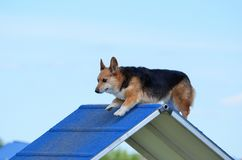 Pembroke Welch Corgi at a Dog Agility Trial Royalty Free Stock Photography