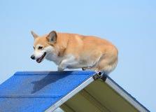 Pembroke Welch Corgi at a Dog Agility Trial Stock Photos