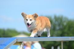 Pembroke Welch Corgi at a Dog Agility Trial. Pembroke Welch Corgi Running on a Dog Walk at an Agility Trial Stock Image