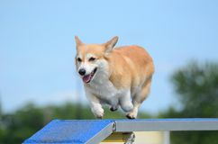 Pembroke Welch Corgi at a Dog Agility Trial. Pembroke Welch Corgi Running on a Dog Walk at an Agility Trial Royalty Free Stock Image