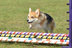 Pembroke Welch Corgi an einem Hundebeweglichkeits-Versuch stockfotografie
