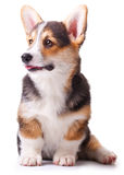 pembroke welsh собаки corgi breed Стоковая Фотография
