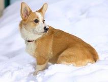 Pembroke Welsh Corgi. Dog breed Pembroke Welsh Corgi in snow Stock Images