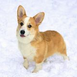 Pembroke Welsh Corgi. Dog breed Pembroke Welsh Corgi in snow Stock Photos