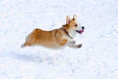 Pembroke Welsh Corgi. Dog breed Welsh Corgi Pembroke runs through snow Royalty Free Stock Photo