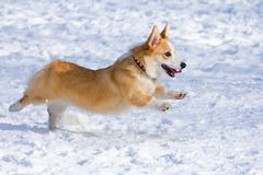 Pembroke Welsh Corgi Stock Photography